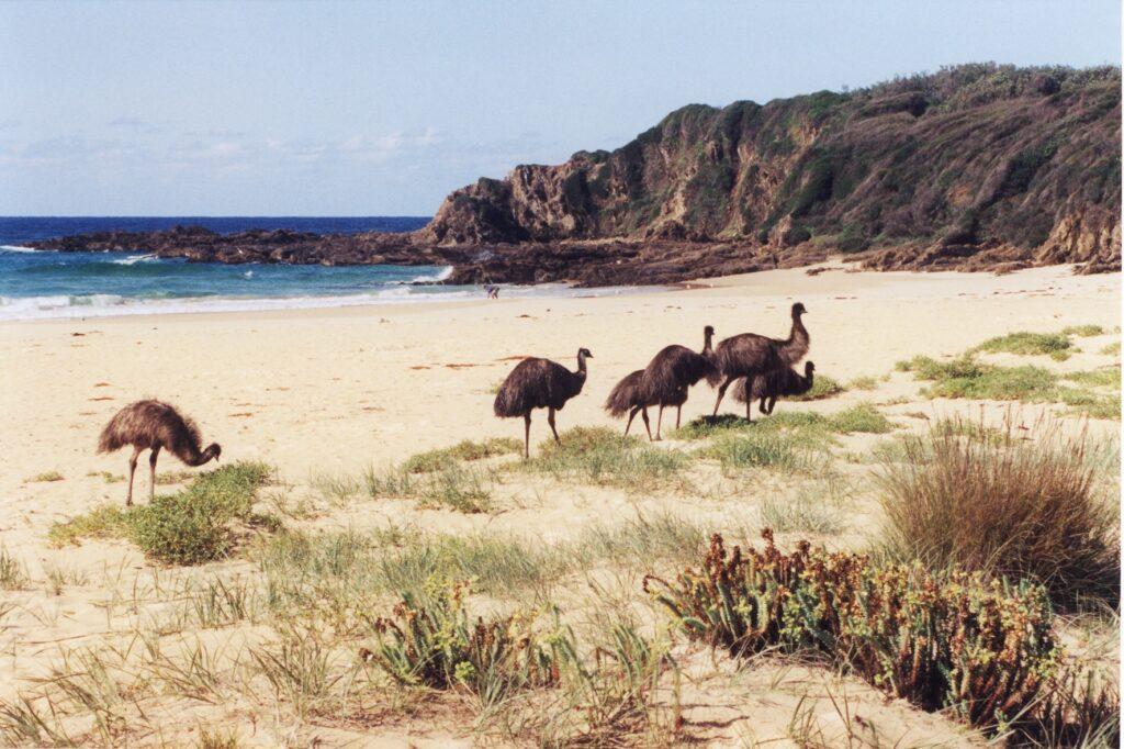 Emus at Potato Point