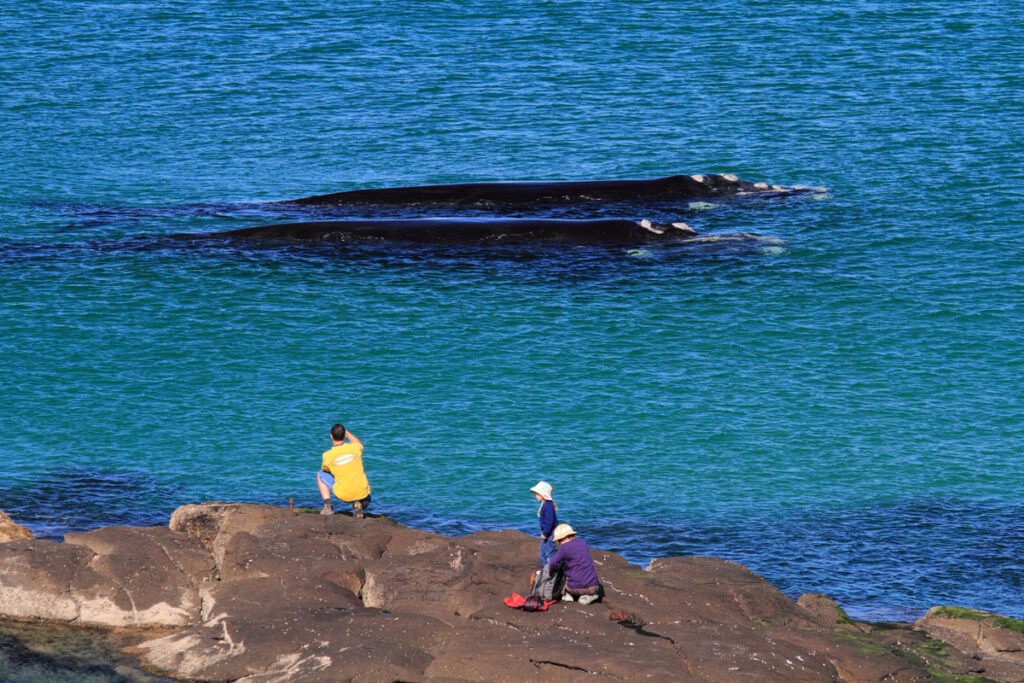 Whales at Broulee