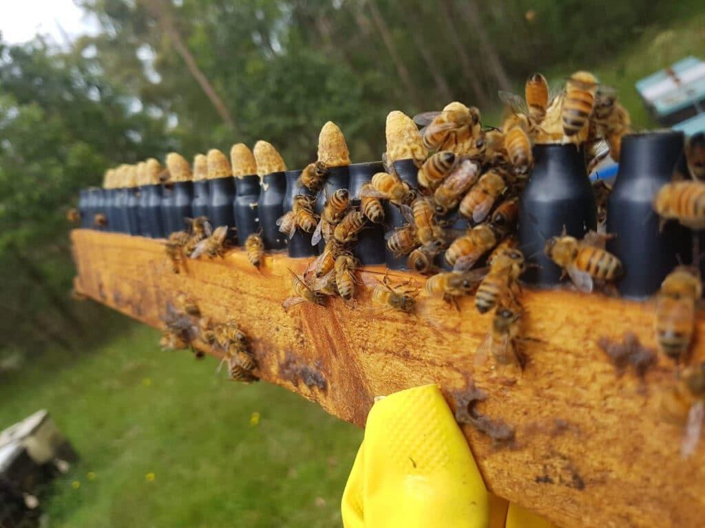 Mogo Honey bees