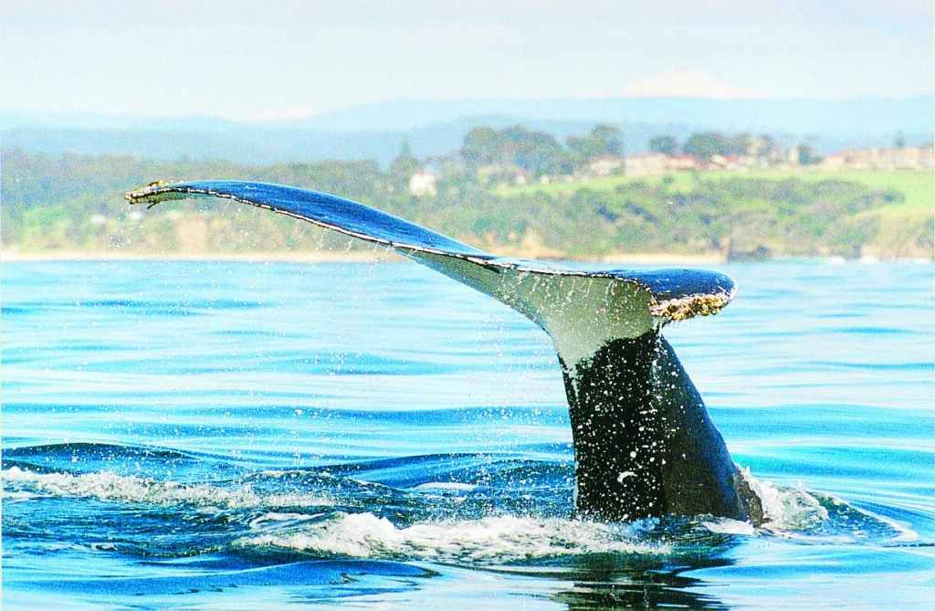 Whale watching at Montague Island
